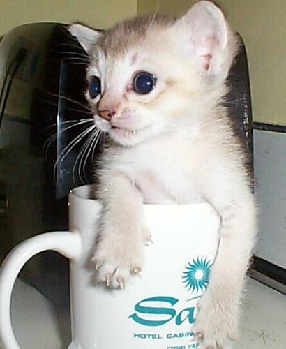 Куны — самая крупная порода кошек в
