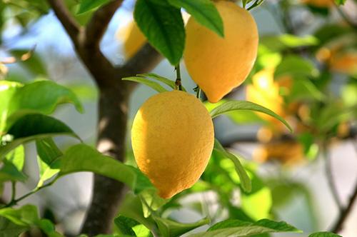 Как привить лимон в домашних условиях
