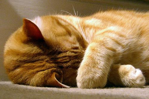 Нос у кота горячий и сухой