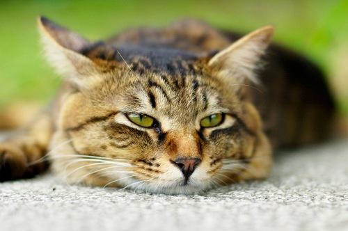 Чумка у кошек: симптомы,