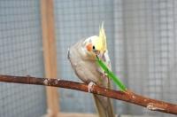 Чем кормить волнистого попугая?