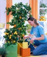 Как ухаживать за мандариновым деревом?