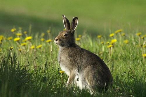 Картинки по запросу заяц беляк летом